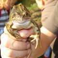 Frosch aus dem Pillebach